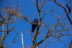 Raven on Tree Stock Images