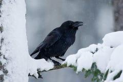 Raven, uccello nero che si siede sull'albero durante l'inverno, habitat della natura, Svezia della neve immagini stock libere da diritti