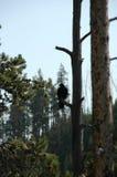 Raven in un albero Immagini Stock Libere da Diritti