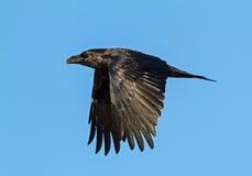 Raven in volo fotografia stock libera da diritti