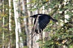 Raven in volo attraverso la foresta fotografie stock libere da diritti