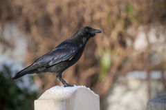 Raven waiting on a gravestone Stock Images