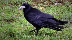 WALKING RAVEN. Raven walking in the grass and watching the camera Royalty Free Stock Photos
