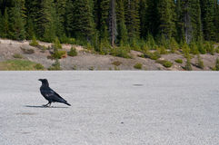Raven walking in a parking lot Stock Photography