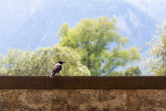Raven on the wall. Raven standing on stone wall Royalty Free Stock Photos