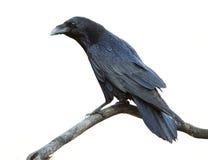 Raven On White Background Photo stock
