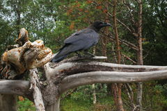 Raven. Who lives in a forest near the Gulf of Beluga, the island of Solovki Stock Images