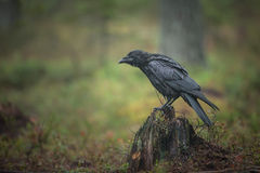 Raven Stock Images