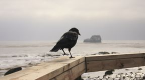 Raven on wooden fence. Raven walking on wooden fence on the background of ocean Royalty Free Stock Image