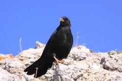 raven wysokogórski Obrazy Stock