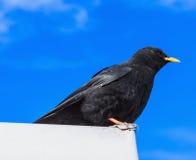raven wysokogórski Zdjęcia Stock