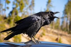 Raven In Yellowstone National Park Stock Image