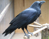Raven in zoo. A raven sitting on a perch in a zoo Royalty Free Stock Photos