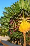 Ravenala Fan Palm or Traveler`s Palm on a blue sky background. Riviera Maya, Cancun, Mexico. Ravenala Fan Palm or Traveler`s Palm on a blue sky background Royalty Free Stock Image