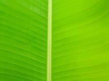 Ravenala leaf Stock Photos