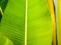 Ravenala leaf Stock Image