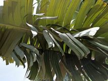 RAVENALA MADAGASCARIENSES arkivbild