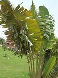 RAVENALA MADAGASCARIENSES royaltyfria foton