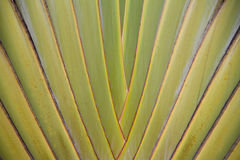 Ravenala madagascariensis Royalty Free Stock Photo