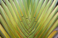 Ravenala madagascariensis sonn Stock Photo