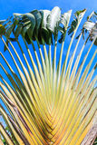 Ravenala madagascariensis or traveller's palm Stock Image