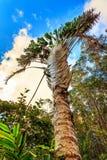 Ravenala madagascariensis. Traveller's Palm (Ravenala madagascariensis) in Madagascar Stock Photography