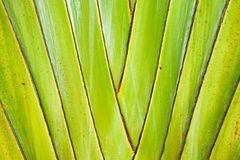 Ravenala madagascariensis, traveller's palm, traveller's tree be Royalty Free Stock Photography