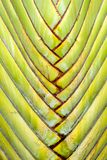 Ravenala madagascariensis, traveller's palm, traveller's tree be Stock Images