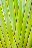 Ravenala madagascariensis, traveller's palm, traveller's tree be Stock Photography