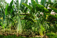 Free Ravenala Palm Called Also Travelers Tree, The Symbol Of Madagascar. Beautiful Branches Of Palm In The Garden. Ravenala Madagascari Royalty Free Stock Photo - 97940675