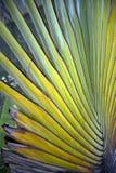 Ravenala Palm. Detail of a Palm genus Ravenala Royalty Free Stock Photography