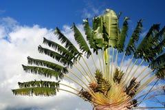 Free Ravenala Palm – Symbol Of Madagascar Stock Images - 24444844