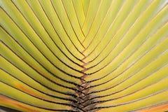 Ravenala palm tree pattern closeup -  traveler tree , natural pa. Ravenala palm tree , traveler tree , Palm tree pattern Stock Image