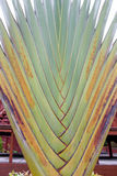 Ravenala. Is a plant that looks outstanding. Like palm trunk , banana leaves Royalty Free Stock Images
