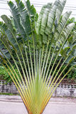 Ravenala. Is a plant that looks outstanding. Like palm trunk , banana leaves Stock Photo