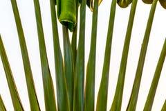Ravenala of reizigers` s palm Royalty-vrije Stock Foto