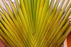 Ravenala or traveler`s palm Stock Images