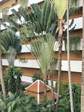 Ravenala or Traveller`s palm or Traveller`s tree. Royalty Free Stock Photography