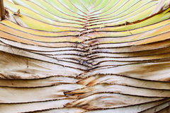 Ravenala tree Stock Image