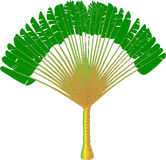 Ravenala - vector drawing of a fan palm tree Royalty Free Stock Photography