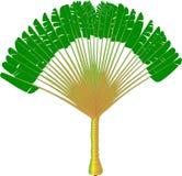 Ravenala - wektorowy rysunek fan drzewko palmowe Fotografia Royalty Free