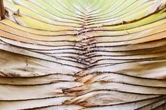 Ravenalaboom Stock Afbeelding
