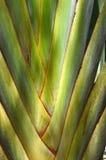 Ravenalamadagascariensis van de reizigersboom Stock Foto