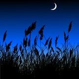 Ravenna grass at dusk Royalty Free Stock Images