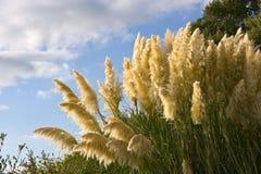 Ravennae del Saccharum, Ravennagrass arbusto Imágenes de archivo libres de regalías