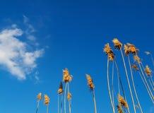 Ravennagrass ενάντια στο μπλε ουρανό στοκ φωτογραφία