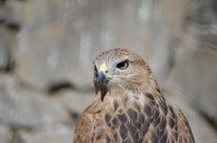 Ravenous eagle eye stock photography
