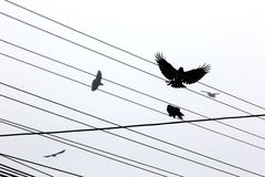 Ravens. Flying over power lines in the city Stock Images