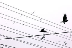Ravens. Flying between power lines Stock Photography