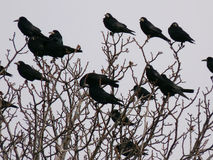 Ravens Stock Photo
